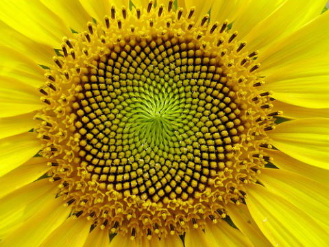 golden ratio, sacred geomtery in nature, sunflower